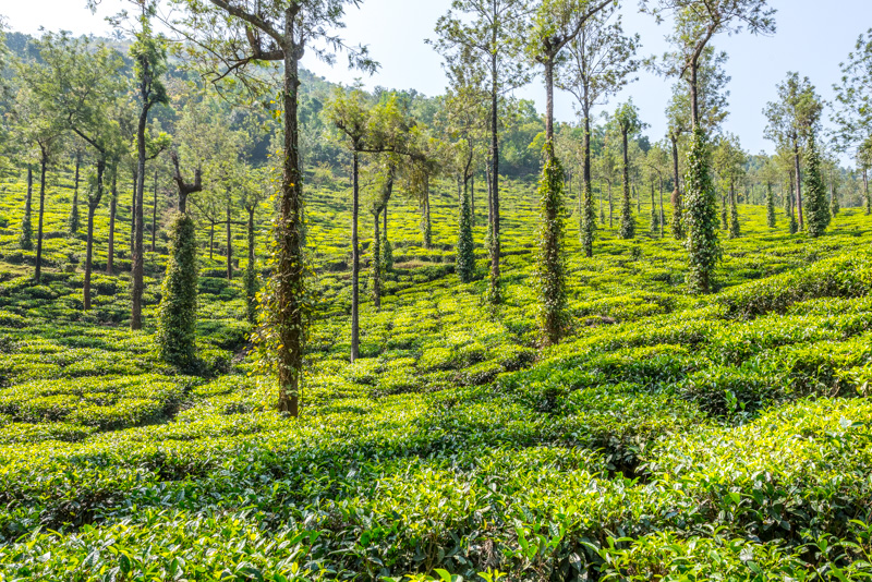 Tea plantations in Munnar, India