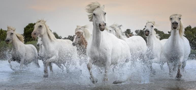 Camargue, France - Wild White Horses Running