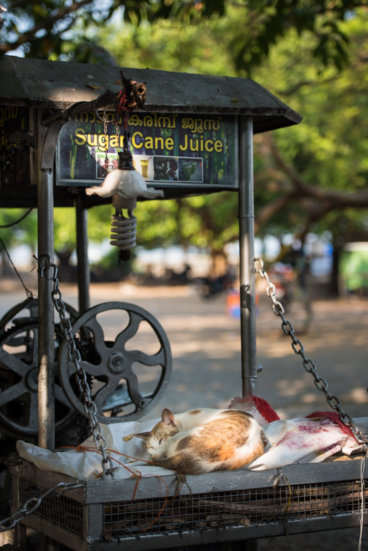 A cat taking a nap in Cochin, India
