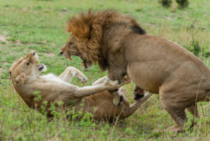 Bourdeau Safari Africa, Lions Playing