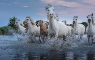 Wild White Horses of the Camargue - How to Use Lightroom Classic Radial Filter