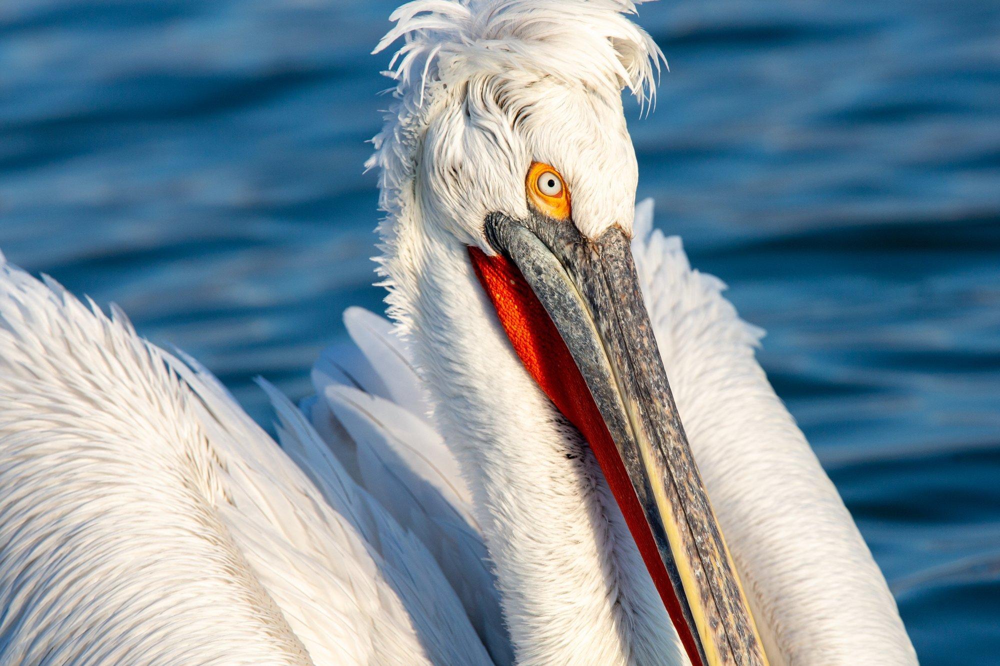 Dalmation Pelicans Photography Workshop